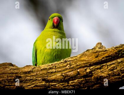 Ring neck parakeet - Stock Photo