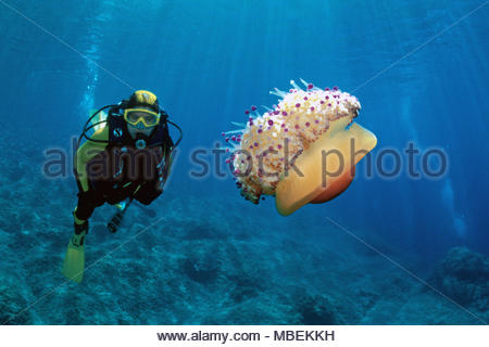 Scuba diver and Fried Egg Jellyfish (Cotylorhiza tuberculata) also known as Egg jellyfish, Mediterranean Jellyfish or Blubber jelly, Croatia - Stock Photo