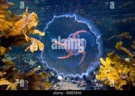 Ohrenqualle (Aurelia aurita) auch Mond-Qualle genannt, Ostsee, Deutschland | Moon jelly (Aurelia aurita), Baltic sea, Germany - Stock Photo