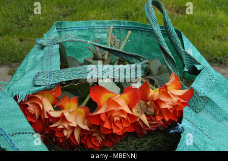 dead cut roses in biodegradable garden waste for disposal - Stock Photo