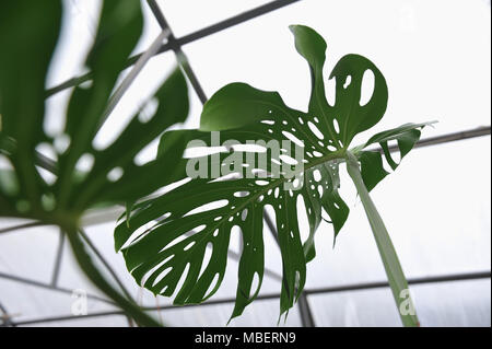 close up photography of the monstera leaves in the greenhouse. - Stock Photo