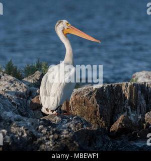 Close-up of American white pelican (Pelecanus erythrorhynchos) on the coast, Kenora, Lake of The Woods, Ontario, Canada - Stock Photo