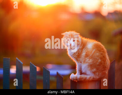 bright red cat sitting on fence in village during sunset - Stock Photo
