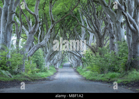 Avenue of beech trees known as the Dark Hedges in Northern Ireland - Stock Photo