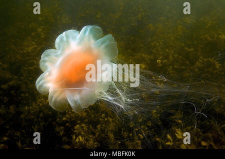 Lion´s mane (Cyanea capillata), dangerous, Baltic sea and German sea, Germany - Stock Photo