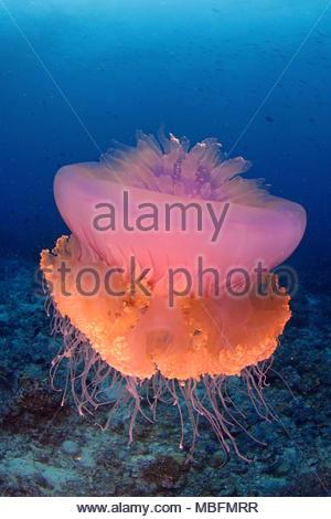 Cauliflower jellyfish or Barrel jellyfish (Netrostoma setouchina), Maldives islands - Stock Photo