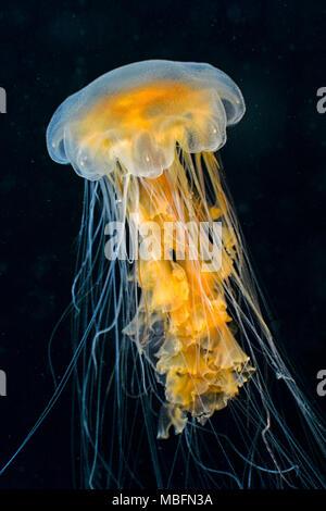 Black Sea Nettle or black jelly (Chrysaora achlyos), Alaska, USA