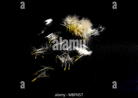 Dandelion flower with seeds ball close up in black background - Stock Photo