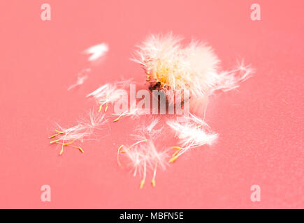 Dandelion flower with seeds ball close up in rose colored background - Stock Photo