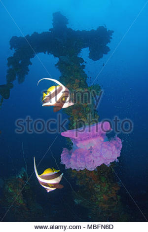 Longfin bannerfishes (Heniochus acuminatus) feeding on a Crown Jelly Fish, crown jelly (Cephea cephea) at a ship wreck, Truk Lagoon, Micronesia - Stock Photo