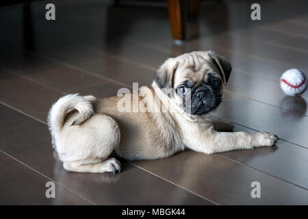 Pug Puppy Playing on the Floor - Stock Photo