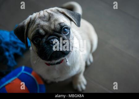 Pug Puppy Looking Upwards - Stock Photo