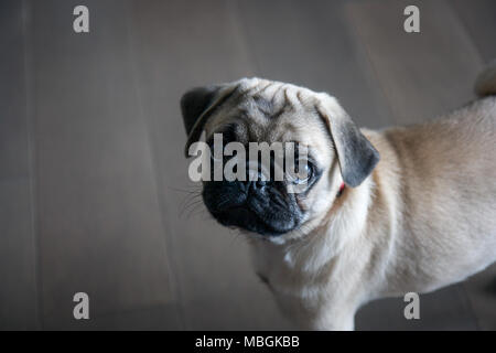 Adorable Pug Puppy Looking Upwards - Stock Photo