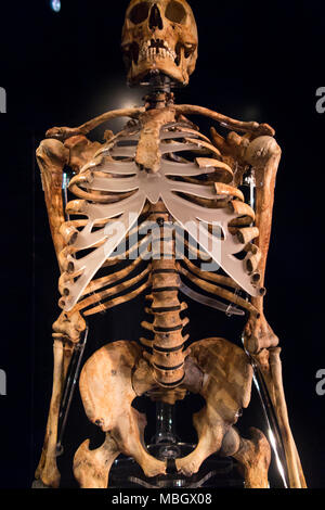 Described as 'An Archer's Skeleton' this skeleton display was recovered from wreck of the Mary Rose. The Mary Rose Museum, Historic Dockyard, Portsmouth, UK - Stock Photo