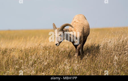 A bighorn sheep in Badlands National Park in South Dakota. - Stock Photo