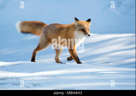 A Red Fox Strolls Along Across the Snow - Stock Photo