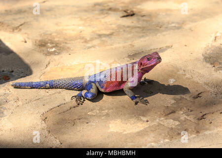 The Mwanza flat-headed rock agama or the Spider-Man agama, because of its coloration, is a lizard in the family Agamidae, found in East Africa. - Stock Photo
