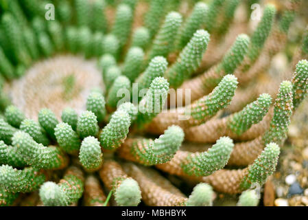 Green cactus or desert plant with selective focus. Close-up shot or macro shot of a cactus. - Stock Photo