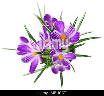 Purple crocuses, spring flowers wit selective focus. Isolated blue crocus flowers. Isolated on white background. - Stock Photo