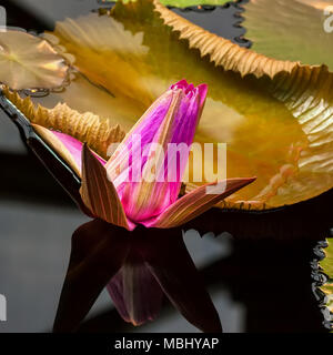Pink lotus blossoms, water plant in pond, unreal color and fantastic reflection - Stock Photo