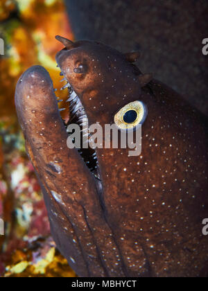 Black moray (Muraena augusti) close up portrait in Mar de las Calmas Marine Reserve (El Hierro, Canary Islands, Spain) - Stock Photo