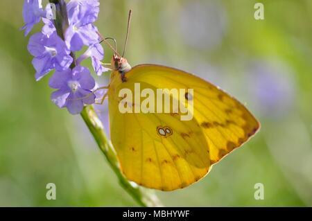 Catopsilia sp yellow butterfly sucking nectar from purple flowers, Townsville Town Common Conservation Park, Pallarenda, QLD, Australia - Stock Photo