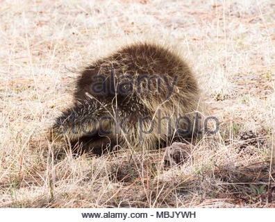 North American Porcupine, Erethizon dorsatum, common porcupine, rear view walking in dry grass  in New Mexico, USA - Stock Photo