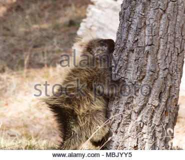 North American Porcupine, Erethizon dorsatum, common porcupine, starting to climb tree in New Mexico, USA - Stock Photo