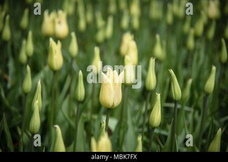 Field of pale yellow tulips - Stock Photo