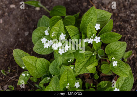 'Alba' Creeping Navelwort, Ormöga, (Omphalodes verna) - Stock Photo