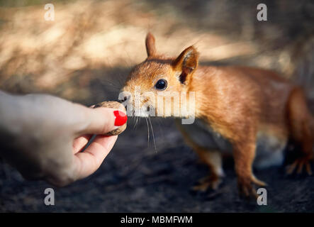 Young woman in feeding funny squirrel in pine forest - Stock Photo