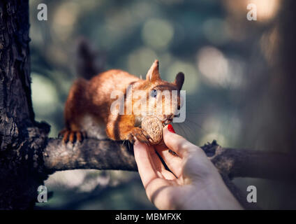 Young woman in feeding funny squirrel on the branch in pine forest - Stock Photo