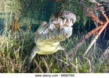 Spitzkrokodil (Crocodylus acutus), Jardines de la Reina, Kuba | American crocodile (Crocodylus acutus), Jardines de la Reina, Cuba - Stock Photo