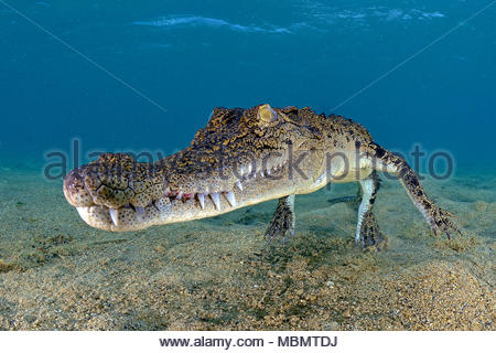 Saltwater crocodile (Crocodylus porosus), largest of all living reptiles, Kimbe Bay, West New Britain, Papua New Guinea - Stock Photo