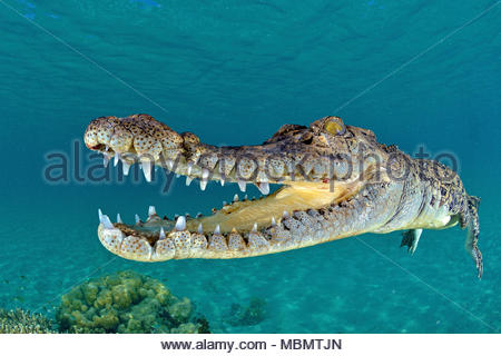 Saltwater crocodile (Crocodylus porosus), largest of all living reptiles, Kimbe Bay, West New Britain, Papua New Guinea - Stock Photo