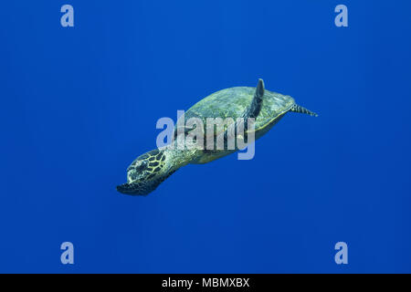 Hawksbill sea turtle (Eretmochelys imbricata) swims near coral reef in the blue water - Stock Photo