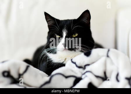 Portrait of a black and white cat sitting at home on a blanket. Stock Photo