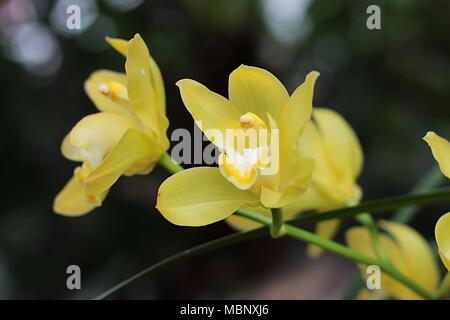 Yellow flowers of Cymbidium orchid - Stock Photo