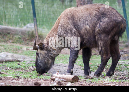 The Bhutan takin (Budorcas taxicolor whitei) from road trip to Bhutan in Himalayas - Stock Photo