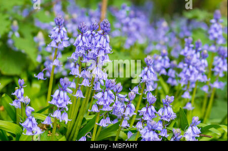 Hyacinthoides x massartiana, a Bluebell which is a hybrid of a native bluebell and Hyacinthoides hispanica, in Spring in the UK. - Stock Photo
