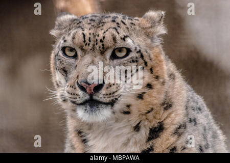 Snow leopard or ounce (Panthera uncia), looking at you - Stock Photo