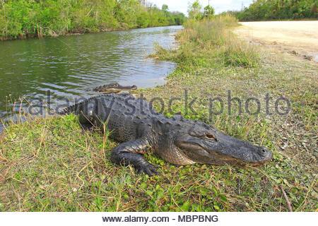 Mississippi alligator (Alligator mississippiensis) also known as American alligator, Everglades, Florida, USA - Stock Photo