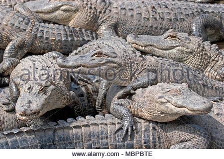 Mississippi alligator (Alligator mississippiensis), group, juvenile, Everglades, Florida, USA - Stock Photo
