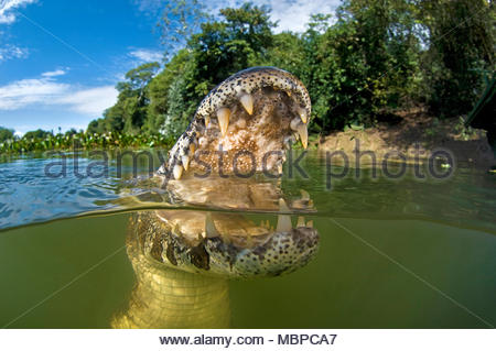 Yacare Caiman (Caiman yacare), split image, Mato Grosso do Sul, Pantanal, Brazil - Stock Photo