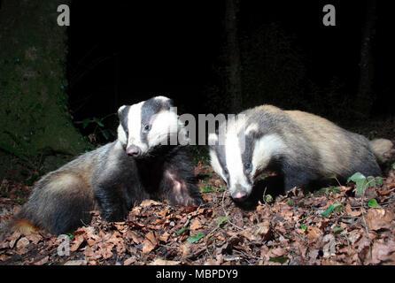 European Badgers - Stock Photo