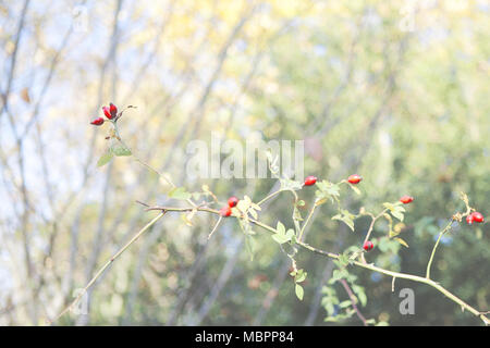The dog rose (Rosa canine), a common hedgerow plant in the south of England. Seen here in autumn covered in red/orange hips. - Stock Photo