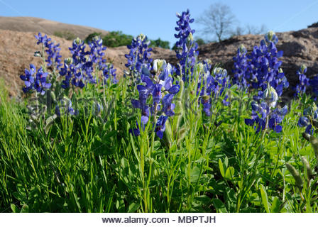Bluebonnet Patch. A Patch of Texas Bluebonnets at Enchanted Rock State Natural Area in the Texas Hill Country of Central Texas. West of Austin Texas - Stock Photo