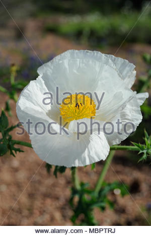 White Texas Prickly Poppy. This Texas Wildflower was photographed at Enchanted Rock State Natural Area in the Texas Hill Country on a sunny day. Poppy - Stock Photo