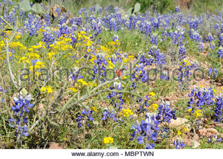 Solitary Christmas Cactus among Texas Bluebonnets and Yellow Wildflowers. Tasajillo Cactus,Texas Wildflower Season. Enchanted Rock State Park Texas. - Stock Photo