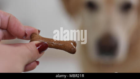 Woman hand holding Delicious dog snack or dog chew biscuits in shape of bone whit white Labrador retriever dog in behind looking the treat - Stock Photo